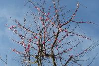 Organizers say the yarn blossoms will remain up until the first <em>real</em> cherry blossoms begin to bloom.