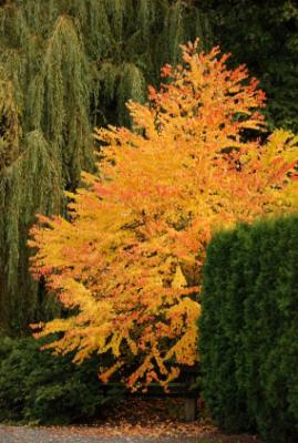 Problem With Katsura Tree Losing Its Leaves Bcliving