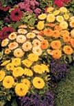 other_marigold_4.jpg