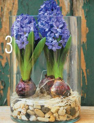 How to force hyacinth bulbs bcliving - Planting hyacinths indoors ...