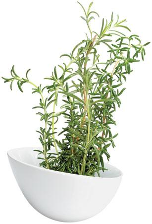 ravishing house plants care. GWO Win2009 Rosemary 5 0 jpg How to Grow Ravishing  BCLiving