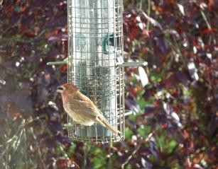 GW-red%20finch%20on%20feeder-3a.jpg