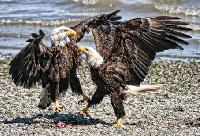 Thousands of bald eagles head to the Harrison River every year in search of salmon