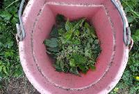 Use Stinging Nettles as Fertilizer
