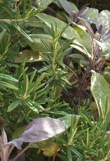 Mediterranean Herbs That Thrive During A West Coast Winter