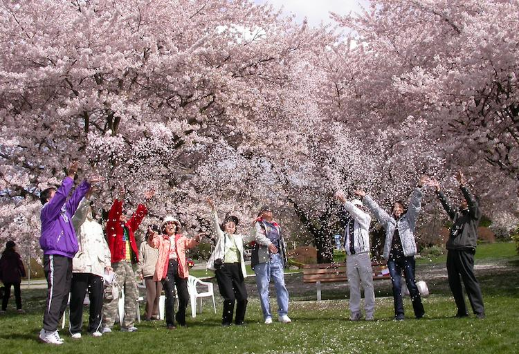 Cherry Blossom Picnic - Ongoing in April