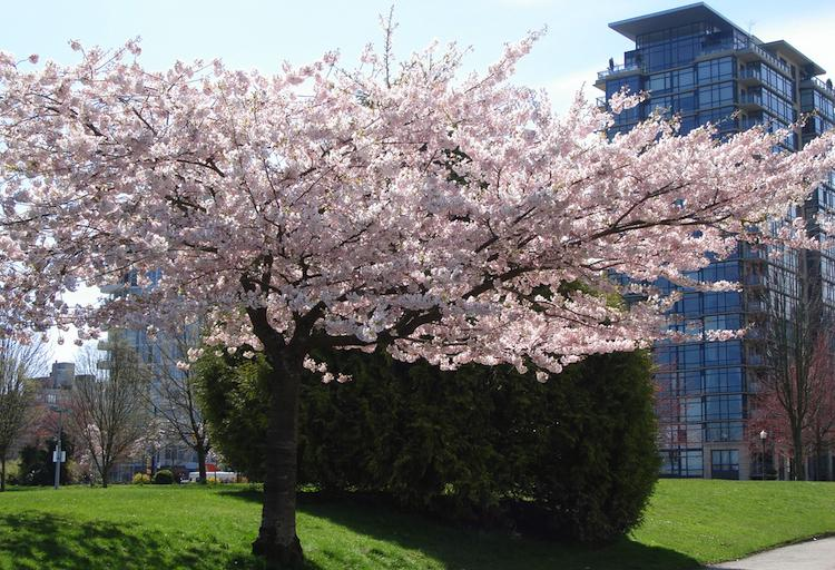 Ornamental Cherries in Vancouver - Ongoing in April