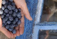Summer is even sweeter now that the fields are filled with juicy B.C. blueberries