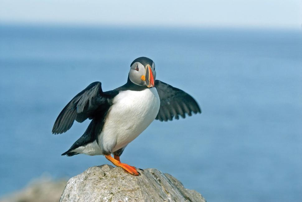 Puffin-AdventureCanada
