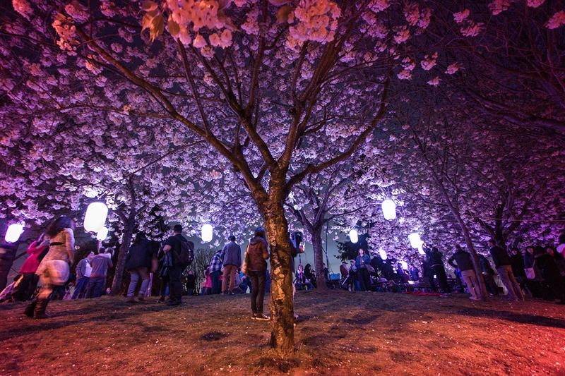 Sakura.Illuminations