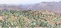 agave field mexico blue tequila