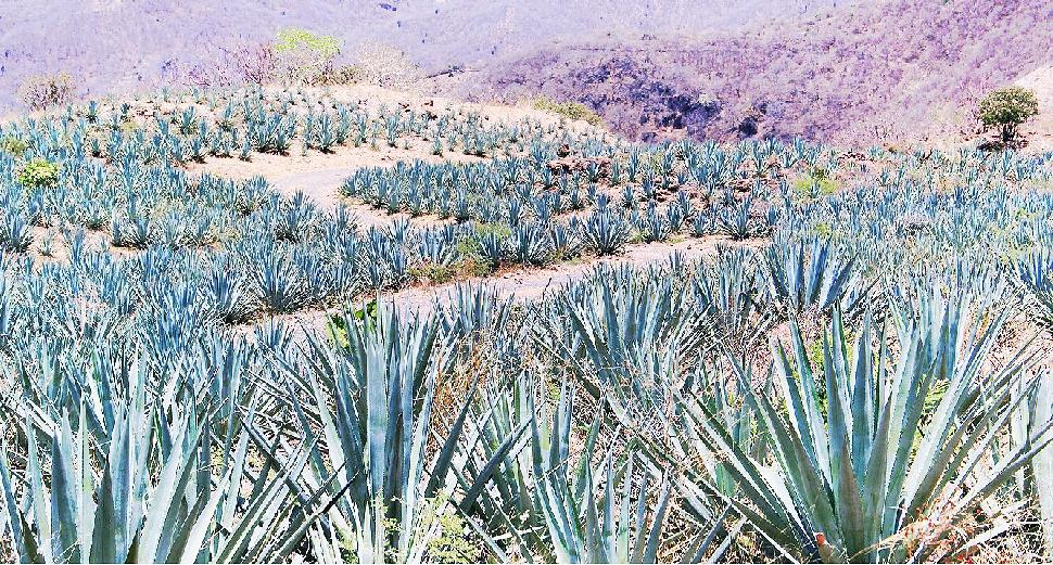 blue agave field mexico tequila