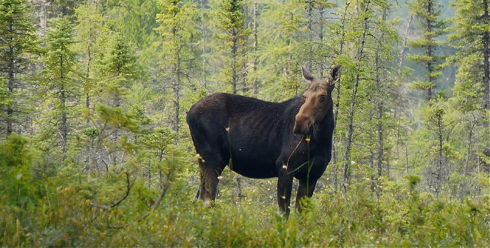 moose spanish river