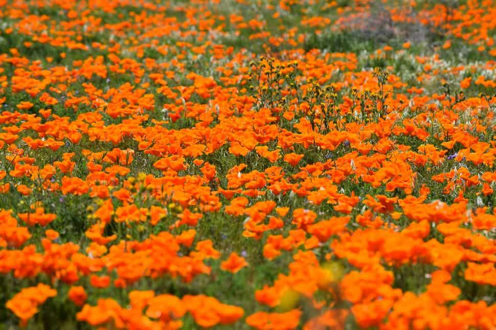 poppies antelope valley california
