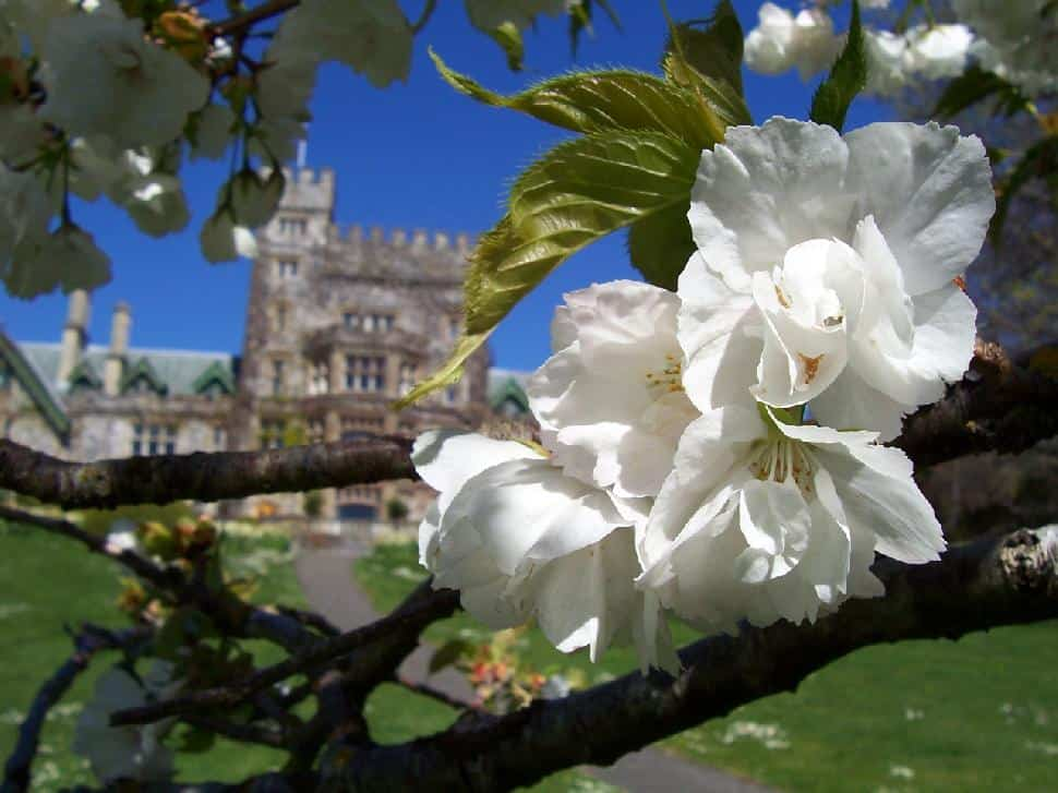 Close-up of blossom tree with Hatley Castle in the background