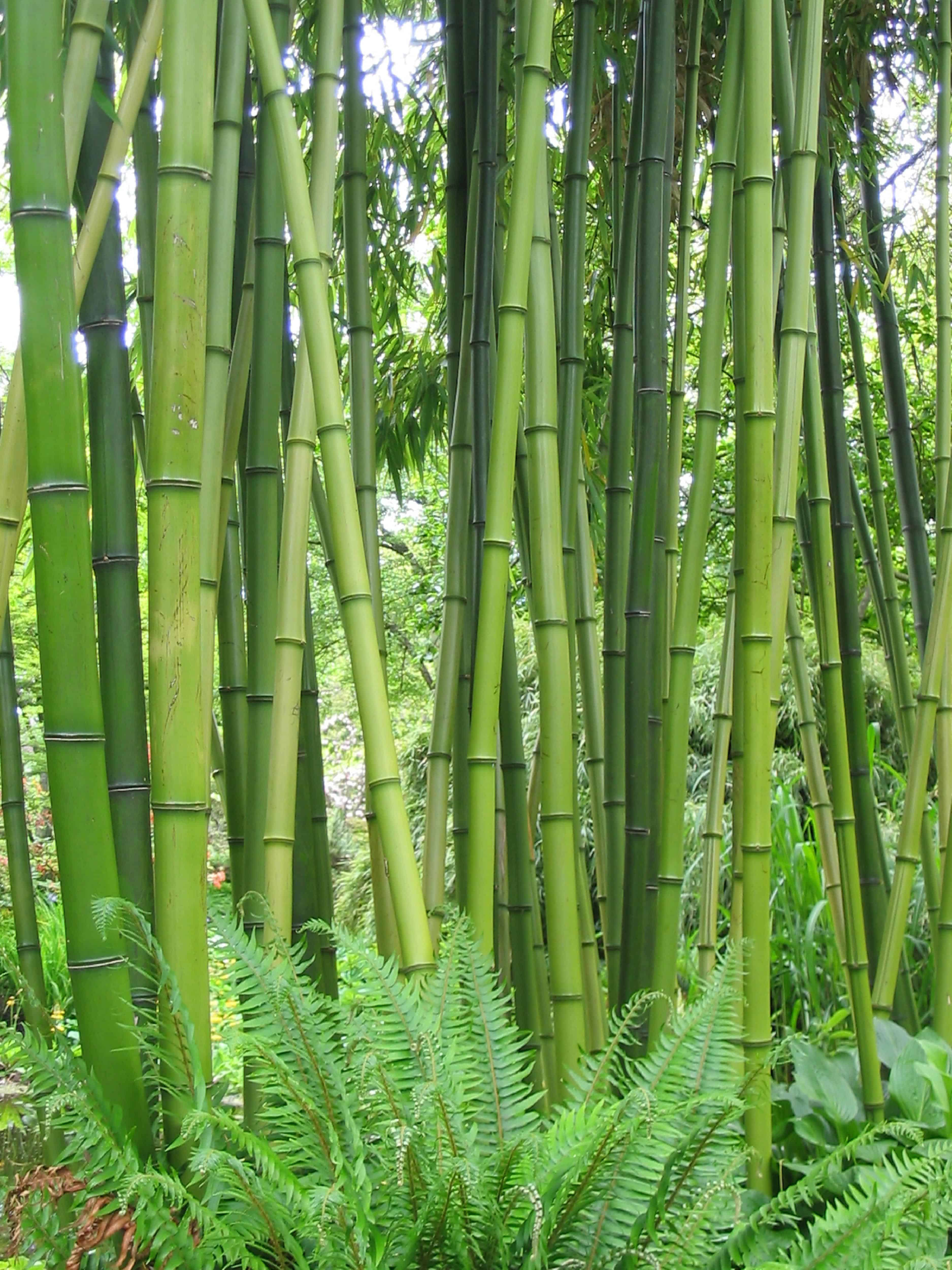 Bamboo at Finnerty Gardens