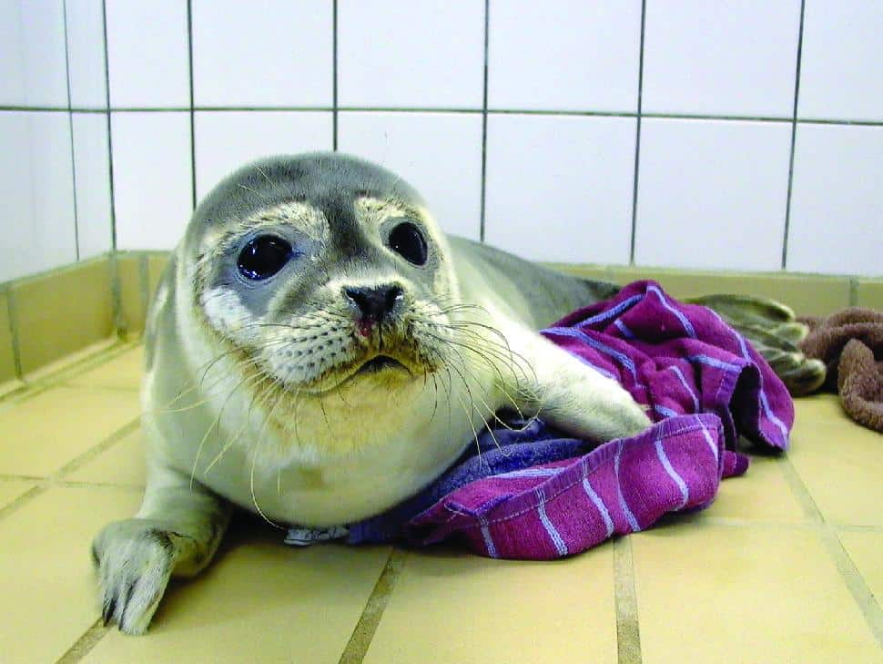 A rescued seal pup. Visit the Seal Rehabilitation and Research Centre in Pieterburen Secondary art for seals