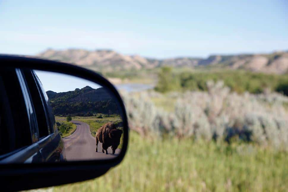 bison in the mirror
