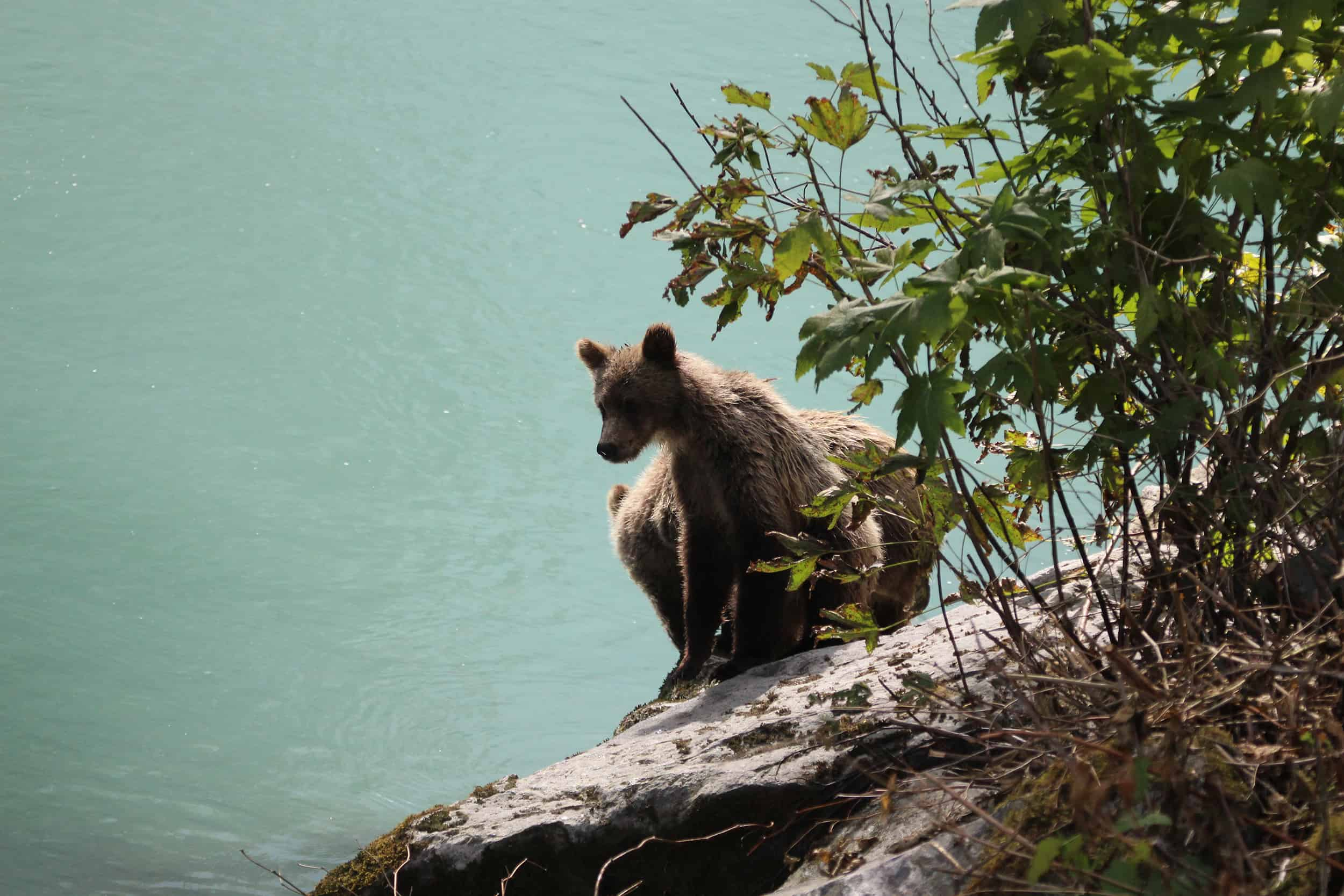 Go Here: Encounters with Grizzlies in Desolation Sound