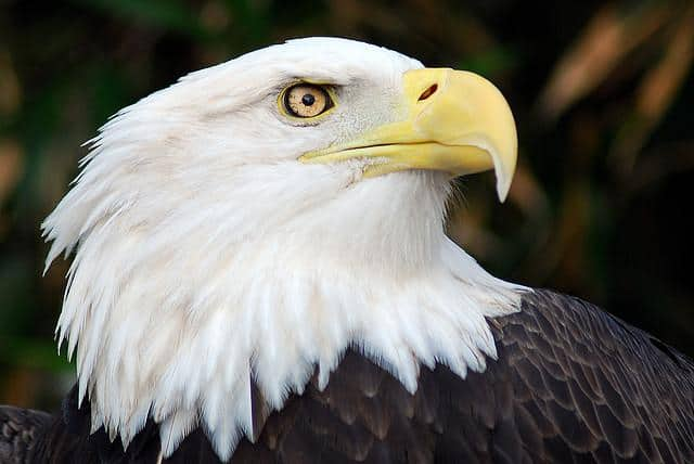 bald eagle pic