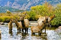 A resident herd of elk in Rocky Mountain National Park in Estes Park