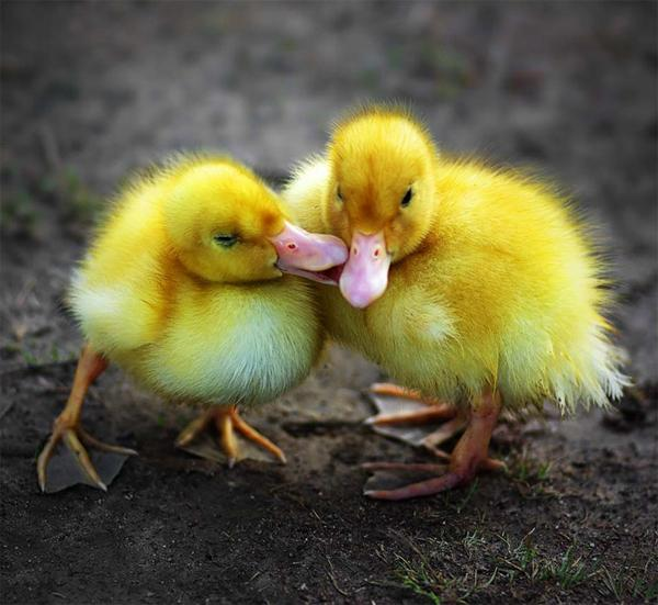 Ducks Kissing