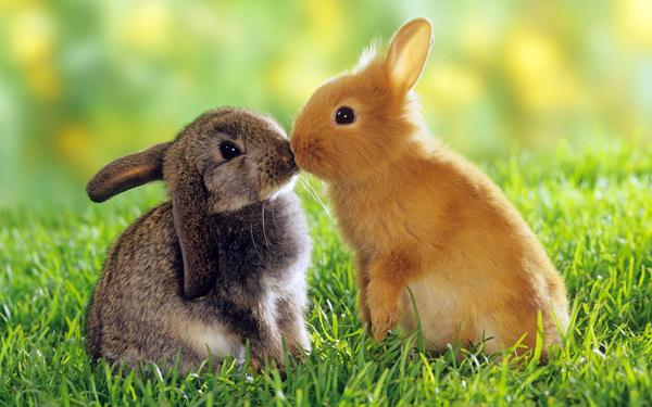 Bunnies Kissing 2