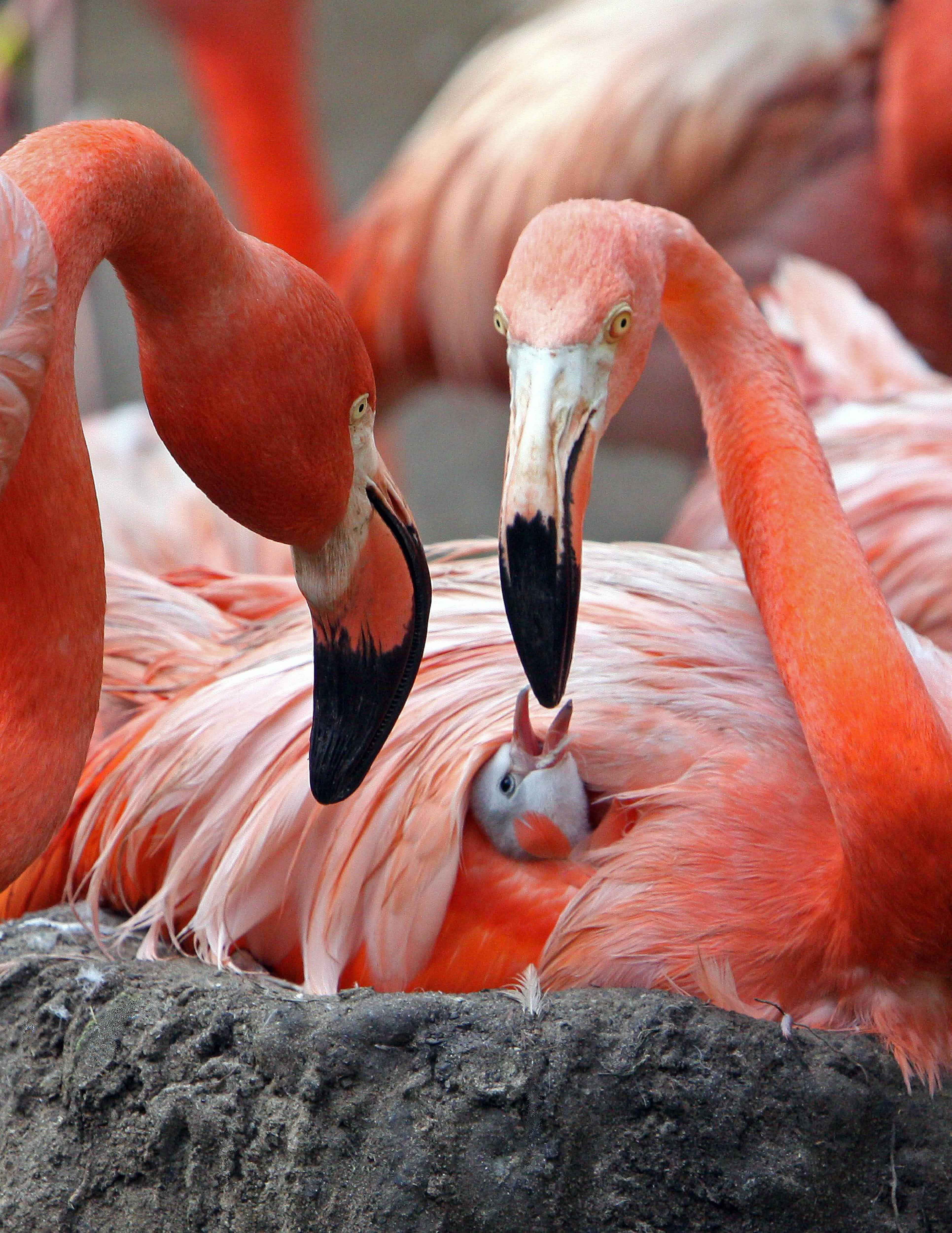 Flamingo Chick and Parents