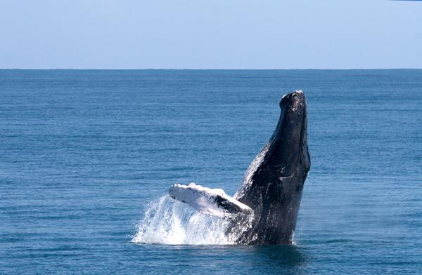 Whale-watching in Samana.
