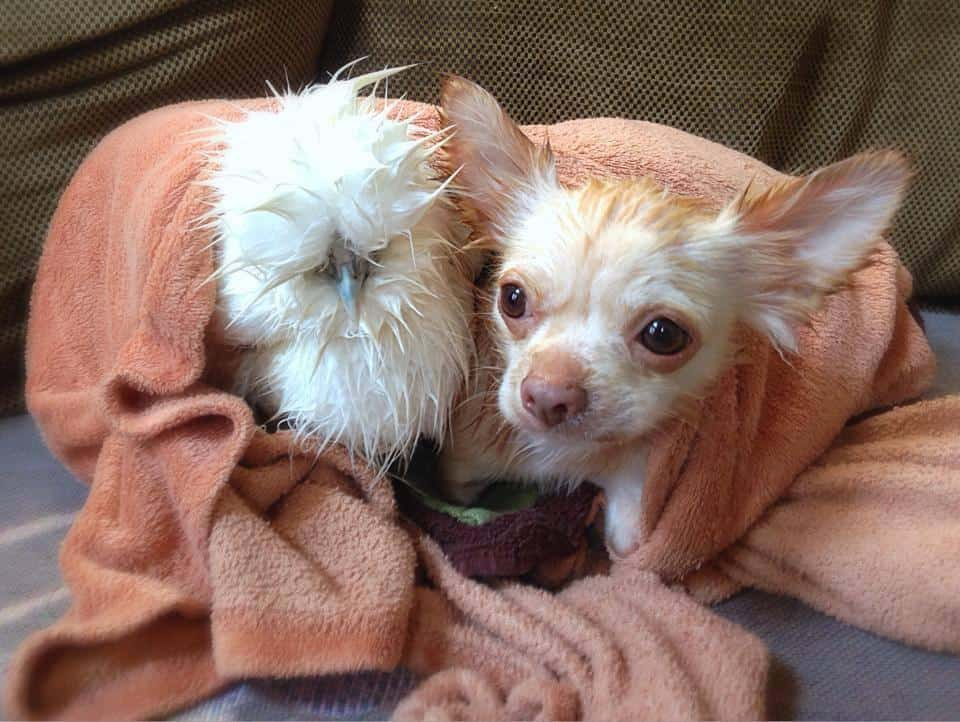 penny chicken and roo bathtime
