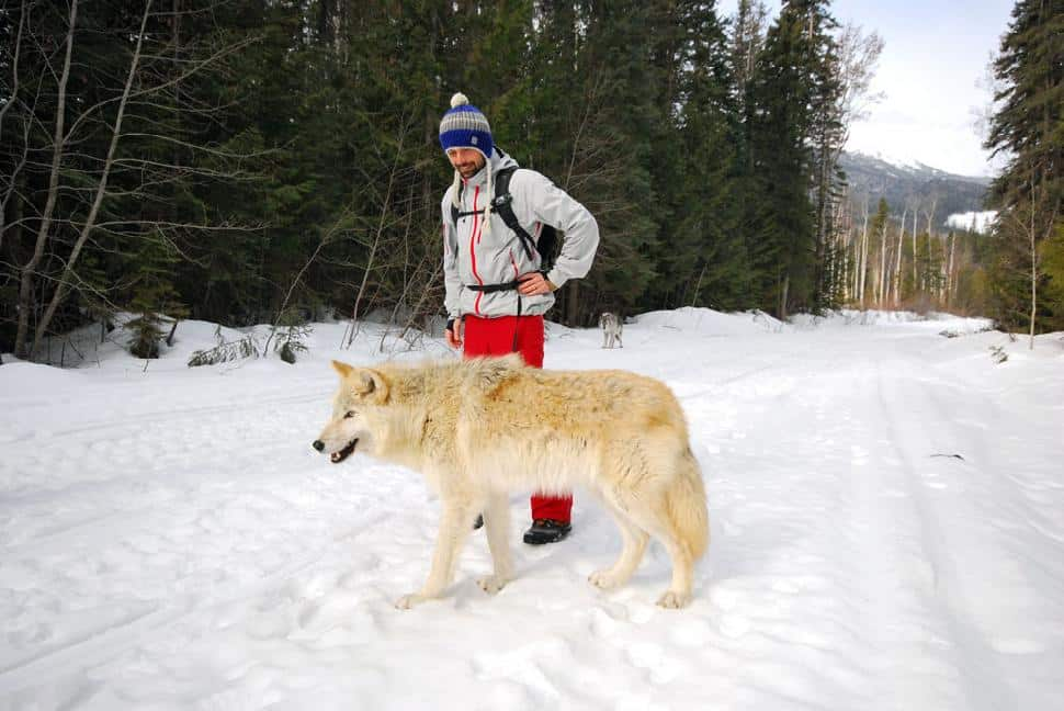 Walking With Wolves in Golden, BC 2