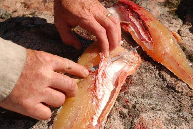 fish-fillet-pike-removing-y-bone2