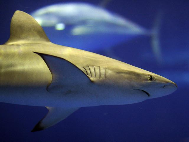 Good shark - Four Ways That Animals Help The Environment
