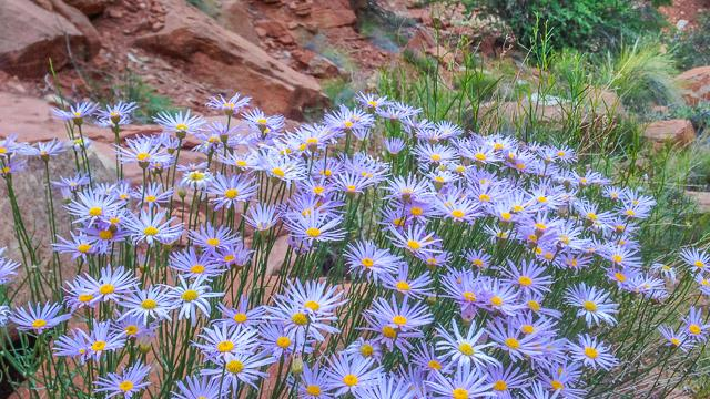 Utah Daisies above the trail