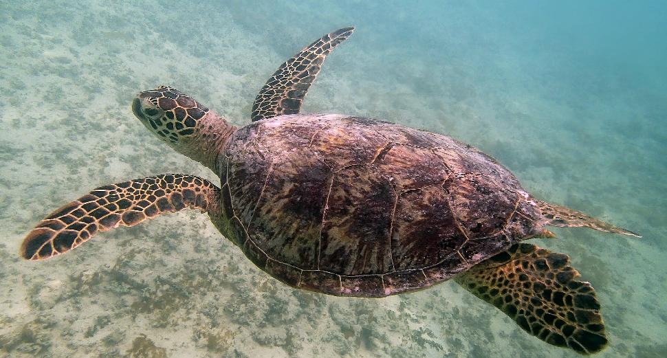 Chelonia mydas - Green Sea Turtle - Honu 2