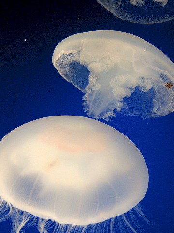 "Moon Jelly (""Aurelia Aurita"")"