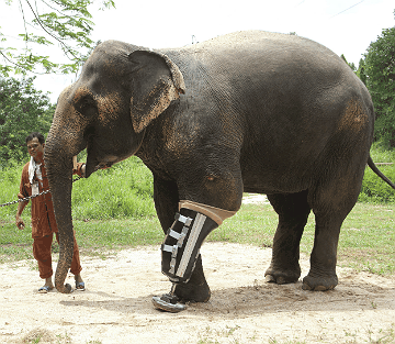 Motala, an elephant landmine survivor, receives the world's largest prosthesis at FAE's Elephant Hospital in Lampang, Thailand