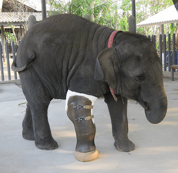 Baby Mosha stepped on a landmine along the Thai-Burma boarder when she was 7-months old. Two years later, she received the world's first elephant prosthesis