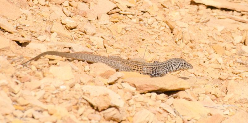 Lizard on the Serpent Trail