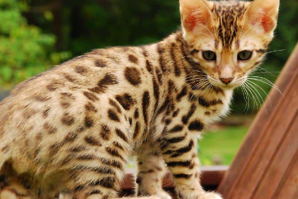 Domestic-Wild Hybrid Cat Ban Urged in California - Paw Mane Fin