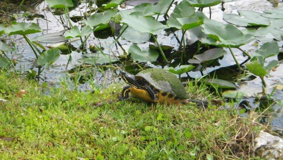 Turtle in the Everglades