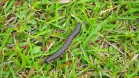 Millipede in the Everglades