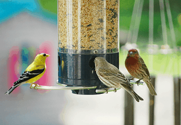 Trifecta! Left to right: American Goldfinch, House Sparrow and a House Finch