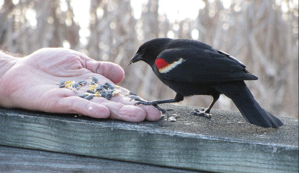 Hand-feeding a redwing blackbird