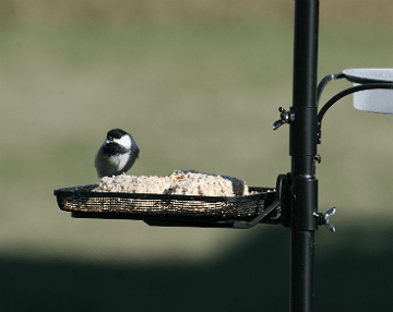Who's at the Bird Feeder? Black-capped chickadee