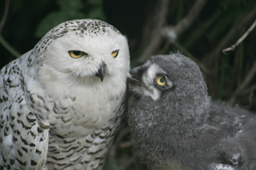 Snowy Owl Mother with Chick