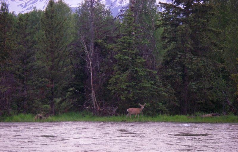 Snake River Wildlife - Deer