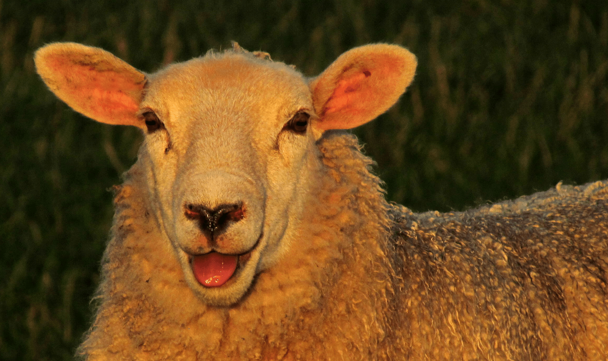 Laughing sheep