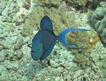 Trigger fish sheeting his sharp teeth
