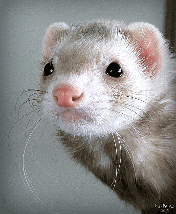 Hi! Happy Furry Ferret Friday